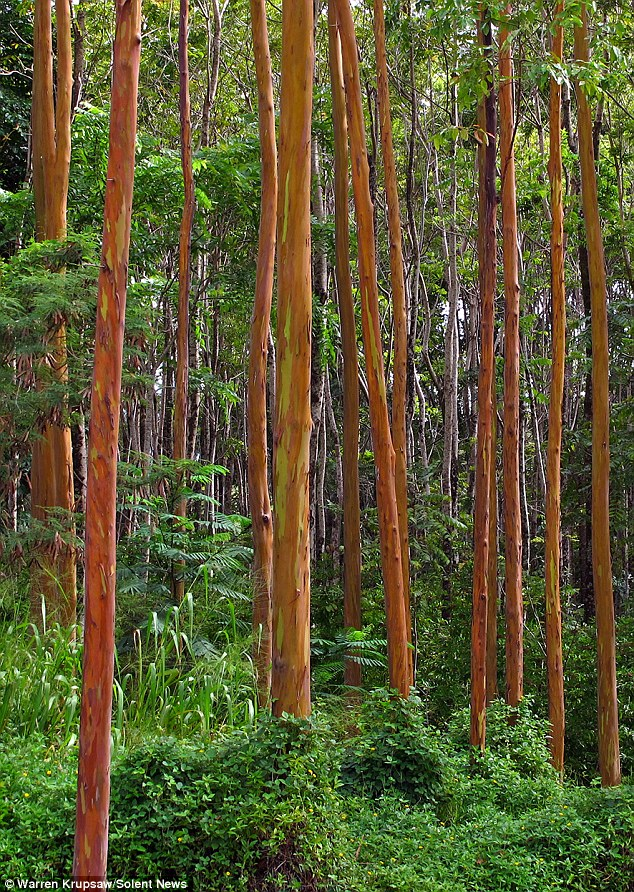 Foliage The extraordinary effect is created when 'rainbow' eucalyptus trees, seen here before the patches appeared, begin to shed their bark to reveal bright colours beneath