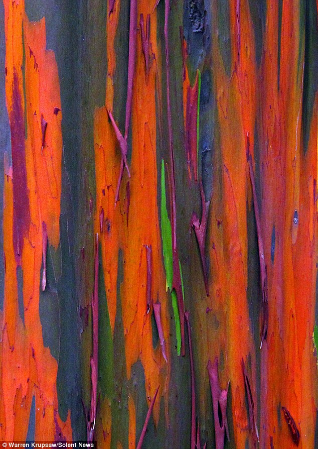 Intense colour Nature photographer Warren Krupsaw said his initial reaction to the trees' rainbow bark was 'amazement'