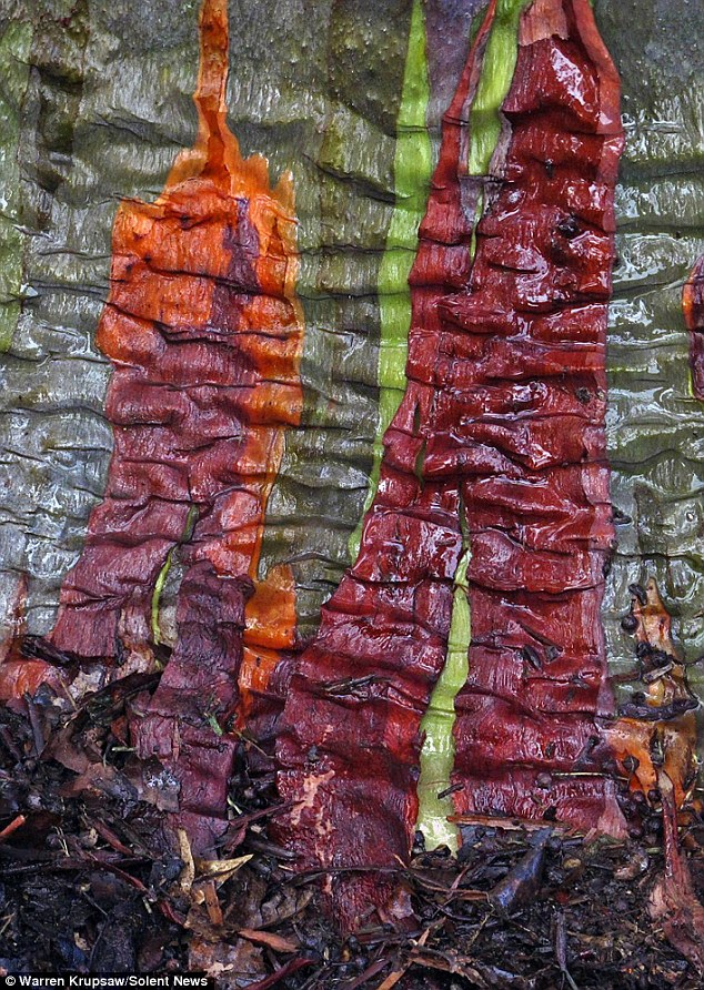 Shedding Rainbow eucalyptus trees can be found in the northern hemisphere, but the species' natural distribution is throughout Southeast Asia and Indonesia