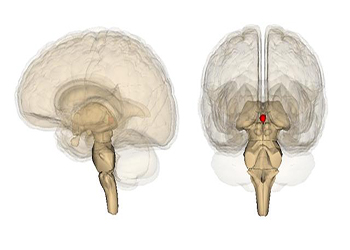 pineal gland 2