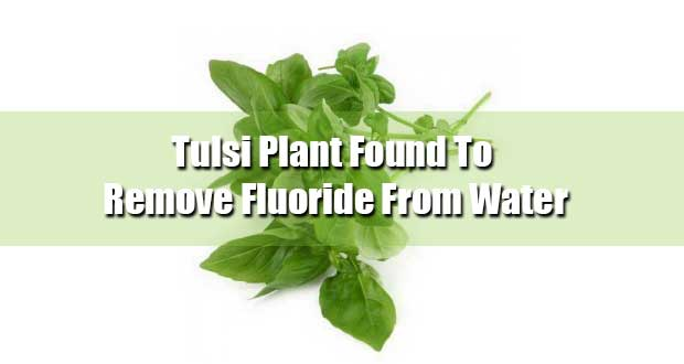 The-Tulsi-Plant-Remove-Fluoride-From-Drinking-Water