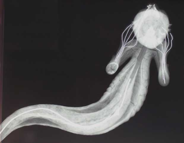 The Munch-like x-ray of the Horniman merman, revealing the wires inside the forelimbs. Photograph: Horniman Museum & Gardens