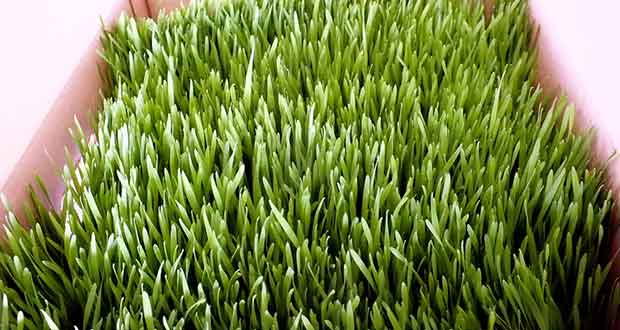 USDA-Approves-GMO-Grass-No-Tests-Needed
