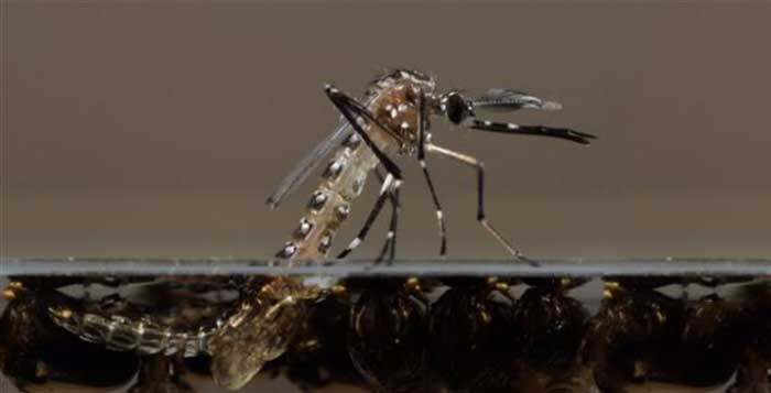 Millions of genetically modified mosquitoes could be released in Florida Keys
