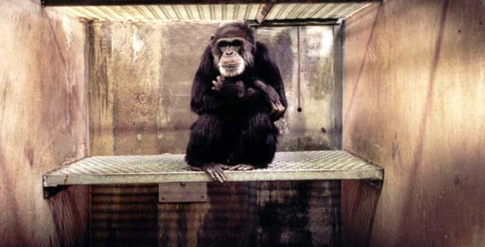 New York Court Recognizes Chimpanzees As Legal Non-Human Persons