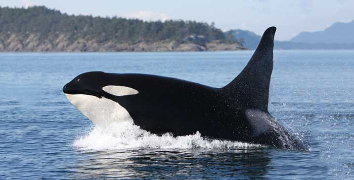A 103 Year Old Orca Thriving In The Wild Means Disaster For SeaWorld