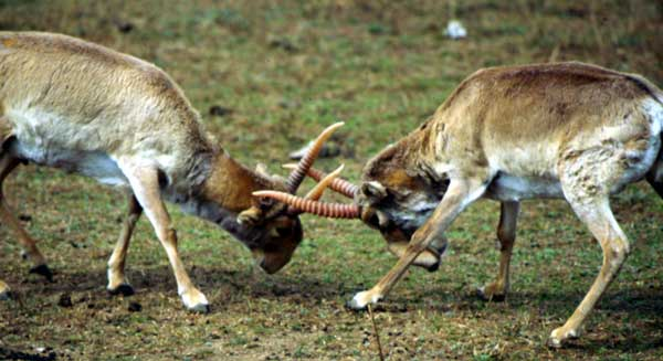 Scientists-Have-No-Idea-Why-120000-Antelope-Just-Died-2