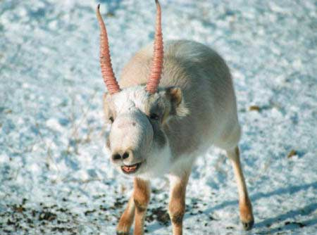 Scientists-Have-No-Idea-Why-120000-Antelope-Just-Died-4