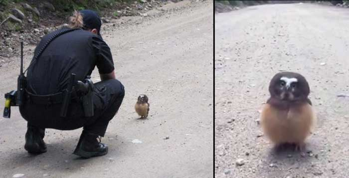 Tiny owl unfazed by road encounter with Colorado cop