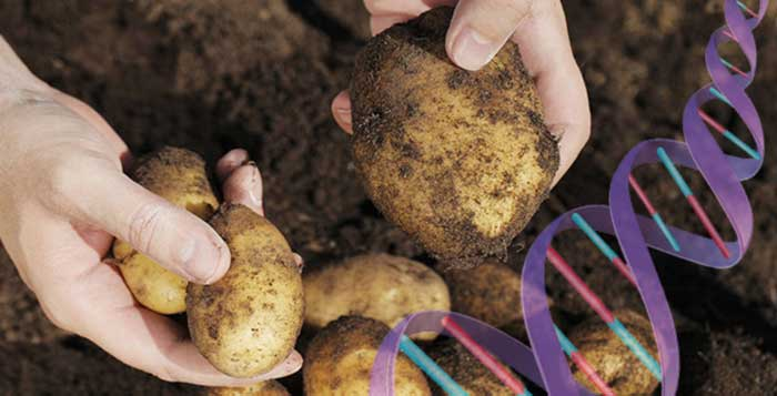 FDA-Claims-New-GM-Potatoes-are-Safe-But-Would-You-Eat-it