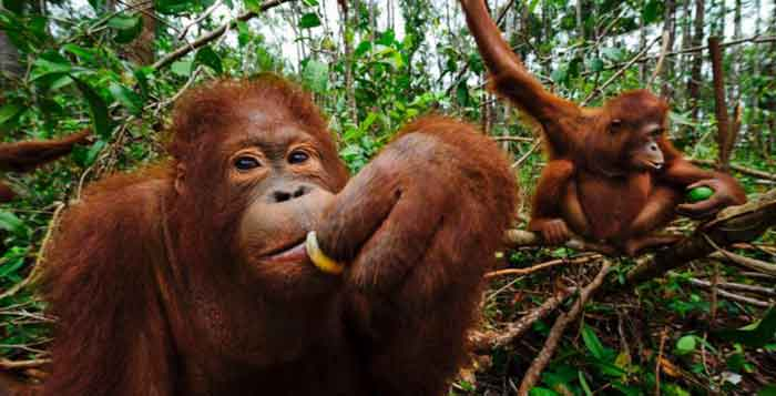 France To Implement Palm Oil Tax To Protect The Rainforests And Orangutans In Indonesia