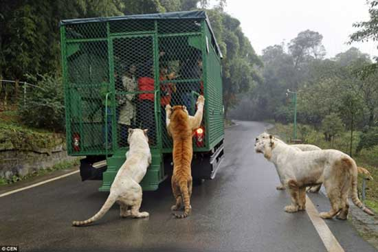In This Zoo Animals Roam Freely While Humans Are Caged r