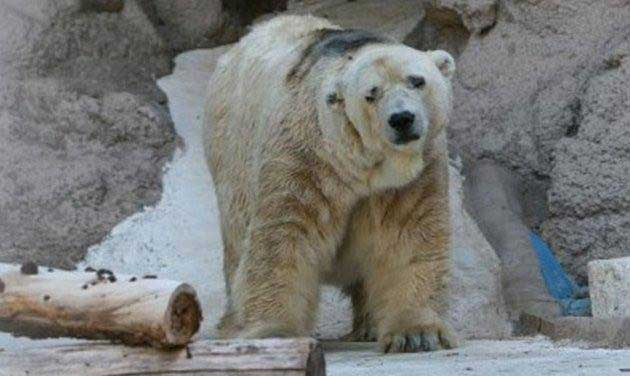 Worlds Saddest Polar Bear  Dies After 22 Years In Concrete Cage 1