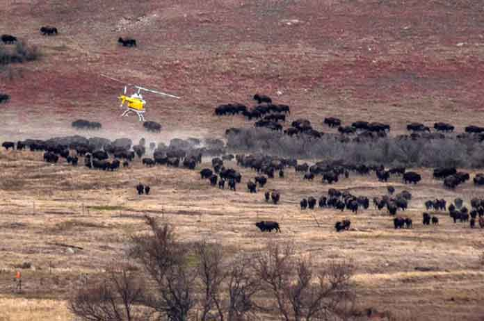 Buffalo Appear At Site Of Standing Rock Protest
