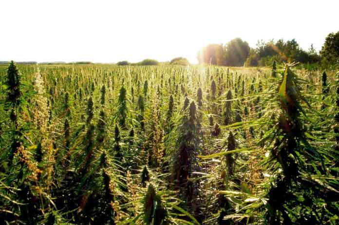 Hawaii Lawmakers Unanimously Pass Bill to Legalize Hemp
