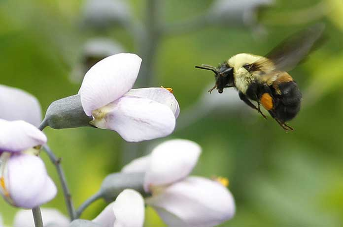 1st Bee Species Officially Placed on Endangered Species List 1