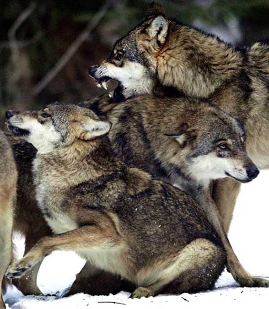 Wolves return to Denmark for first time in 200 years q