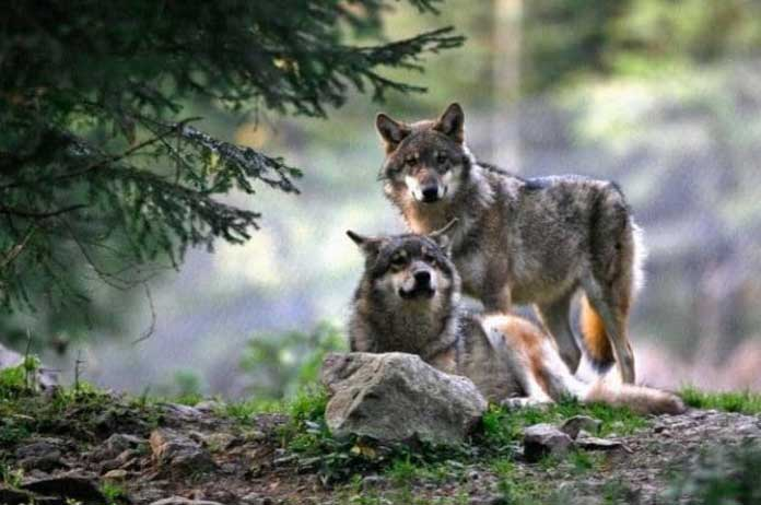 Wolves return to Denmark for first time in 200 years
