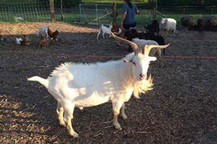 Police Kill Farmer Prized Goat After Fearing For Their Lives