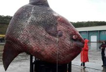 Monstrous 1-ton ocean sunfish caught in Russia far east thrown to the bears l