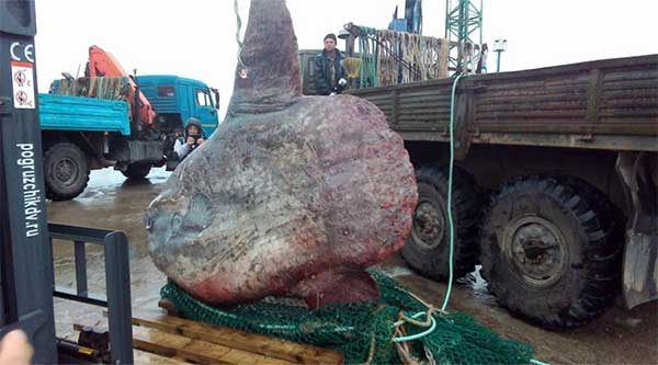 Monstrous 1-ton ocean sunfish caught in Russia far east thrown to the bears