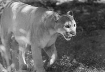 Eastern Cougar Officially Declared Extinct